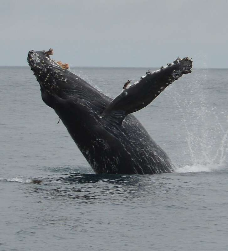 A humpback whale in full breach last Sunday near the Southeast Farallon Island -- researchers stationed at the island counted 93 humpback whales, 21 blue whales and one fin whale in a single hour