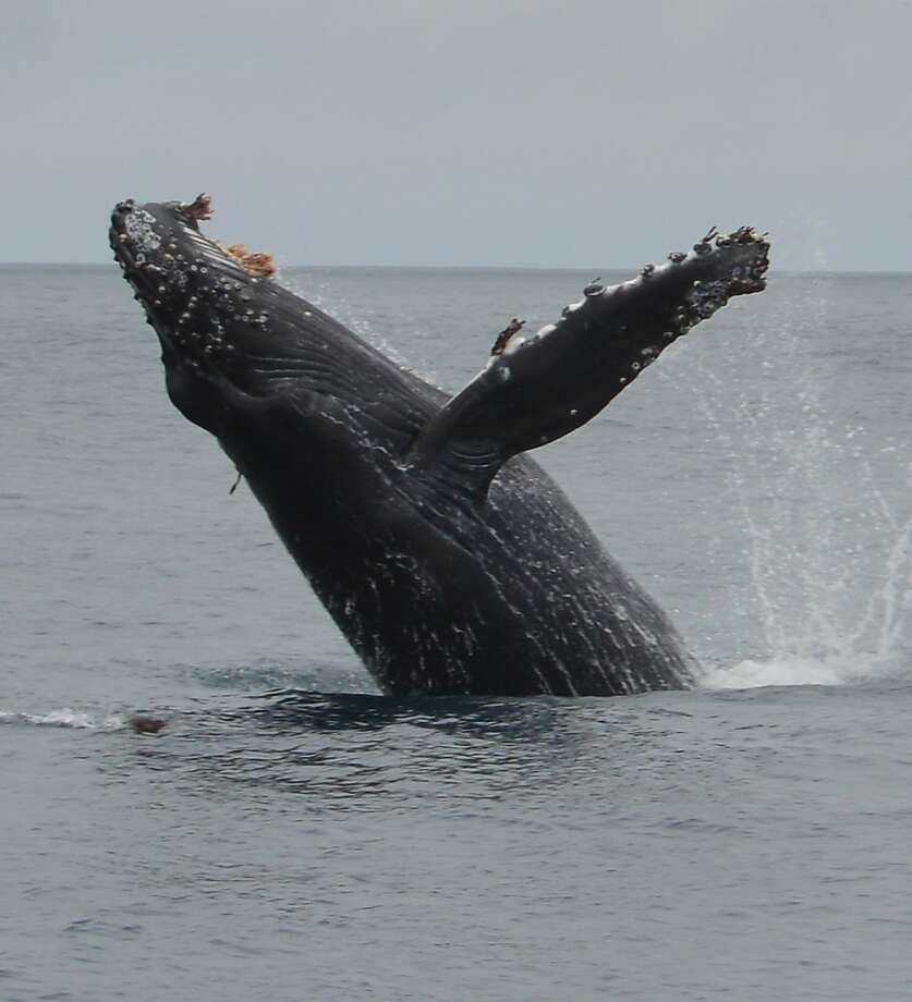 You might see a humpback whale in full breach on one of the Oceanic Society excursions. It's a prime time of the year to see the giant creatures, and it's right here in the Bay Area. Photo: Peter Winch/Oceanic Society