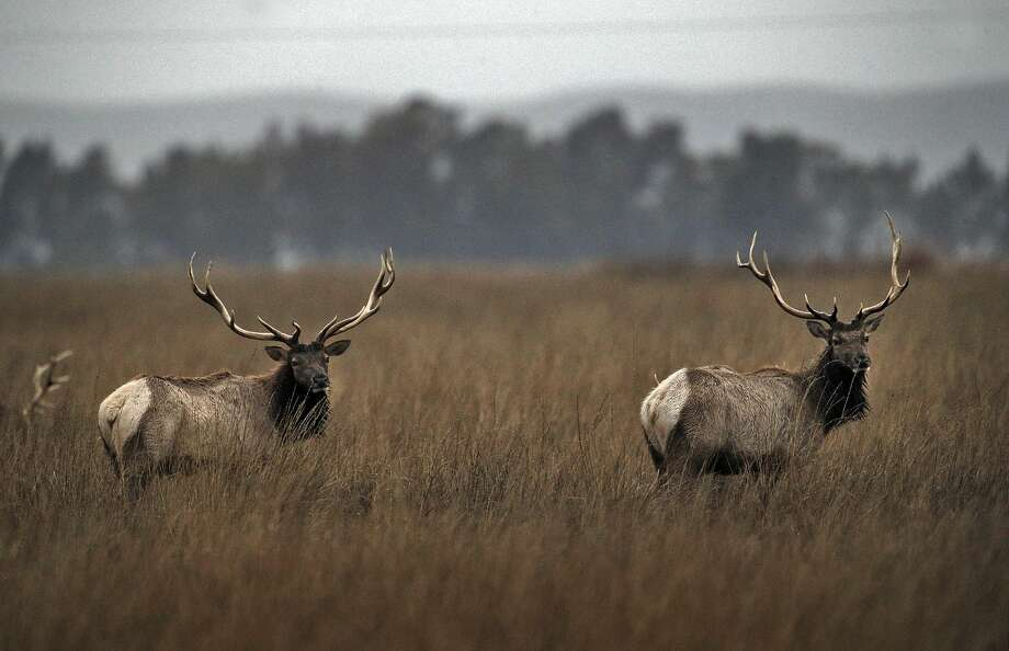 Two bull Tule Elks pop their heads up to check their surroundings as they feed at the Grizzly Island Wildlife Area in Suisun, Calif., on Monday, December 21, 2015. The tule elk at Grizzly Island in the Lower Delta have been propagating like champs in the past 35 years. In the late 1970s, the herd started with with just a handful of animals, but as the population expanded at Grizzly Island, individuals were darted, transplanted and used as seed stock to start new herds. The number of elk has expanded from that handful to provide the seed for 21 herds with 3,800 elk around the state. Once numbering close to 500,000, they were all but extinct, but because of the Department of Fish and Wildlife's transplant program, they are thriving. Photo: Carlos Avila Gonzalez, The Chronicle