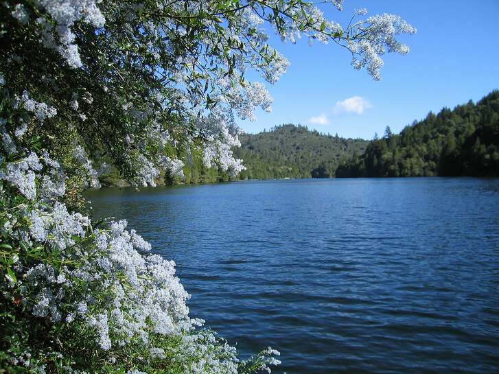 Wild lilac (Ceonothus) will be blooming into May at Loch Lomond in the Santa Cruz mountains. Photograph was shot in March from a boat near the lake's west bank.