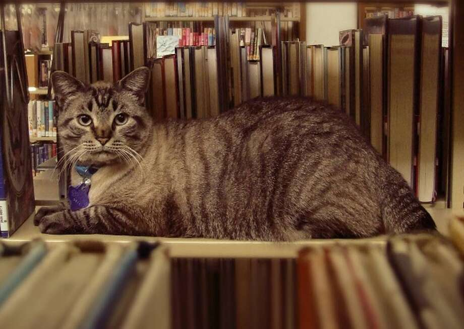 Browser, the resident mouser at the White Settlement Public Library, was voted to be removed by the White Settlement City Council in a 2-1 vote on Tuesday, June 14, 2016.