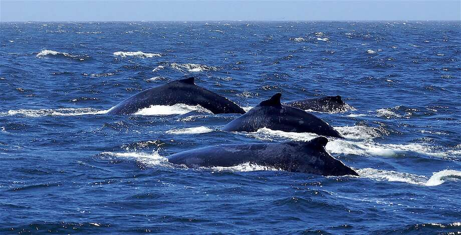 On the boat Salty Lady, a whale watching trip with the Oceanic Society out of San Francisco found a pod of humpback whales near the Southeast Farallon Island Photo: Tom Stienstra, Chris Biertuempfel, Oceanic Society �/ Special To The Chronicle