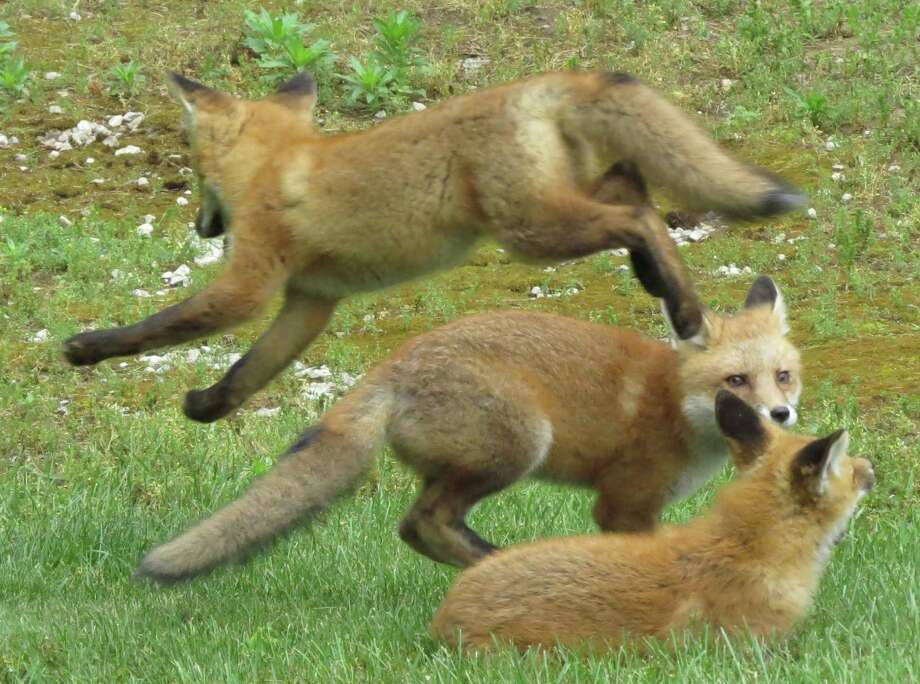 Phyllis Oria of New Milford captured this photograph of fox kits playing in her yard in May. Unfortunately, the kits disappeared a few weeks later. Photo: Courtesy Of Phyllis Oria / The News-Times Contributed