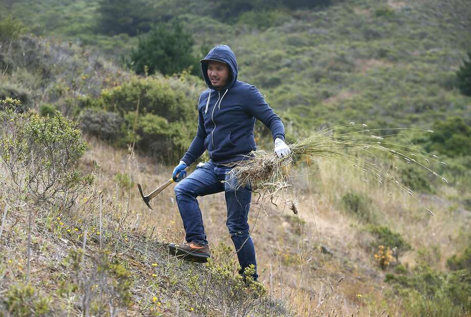 Lawrence Festin removes weeds from restored grassland with a volunteer youth group at Muir Beach, Calif. on Wednesday, June 29, 2016. The National Park Service completed a restoration project of the Redwood Creek watershed near the beach and are planning similar changes to nearby Muir Woods. Photo: Paul Chinn, The Chronicle