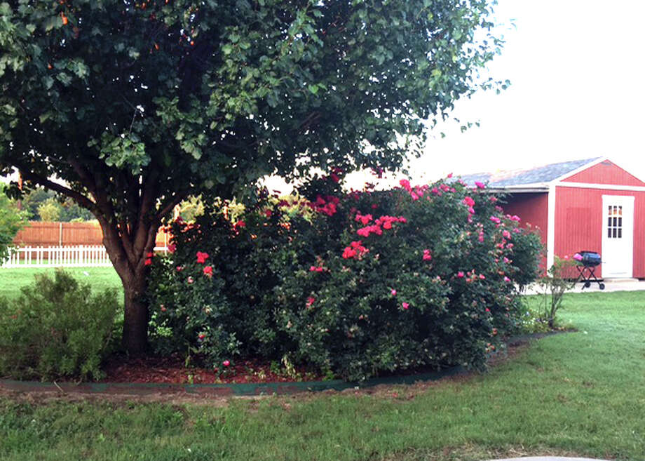 Large rose is growing into tree and also blocks the view from the house. Photo: Courtesy Photo