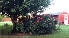 Large rose is growing into tree and also blocks the view from the house.