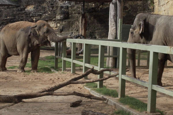 On the left is Nicole, a 40-year-old elephant and Lucky a 56-year-old Asian elephant together at the San Antonio Zoo. The addition of Nicole is a positive step forward.