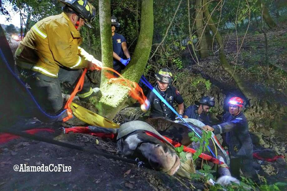 Daniel the Clydesdale was recovering after a June tumble down a ravine in Alameda County. Photo: Alameda County Fire Department / Alameda County Fire Department