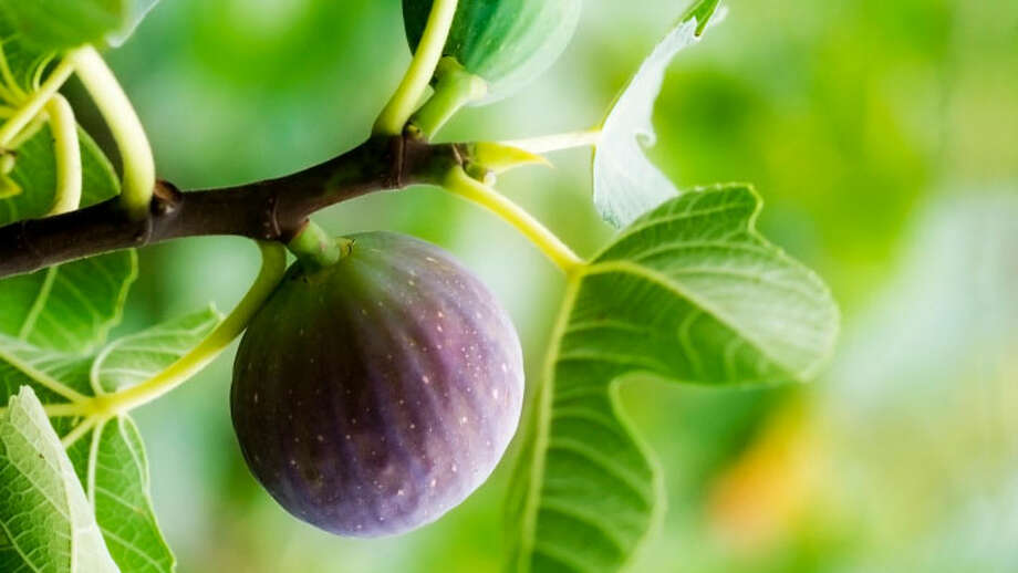 There are a number of environmental factors, including too much rain or hot, dry weather, that can cause figs not to ripen. Photo: Courtesy SAWS