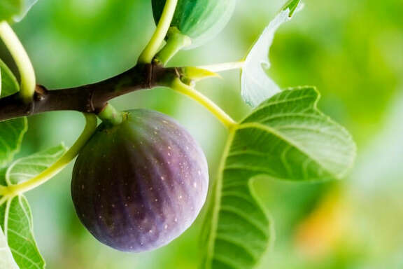 There are a number of environmental factors, including too much rain or hot, dry weather, that can cause figs not to ripen.