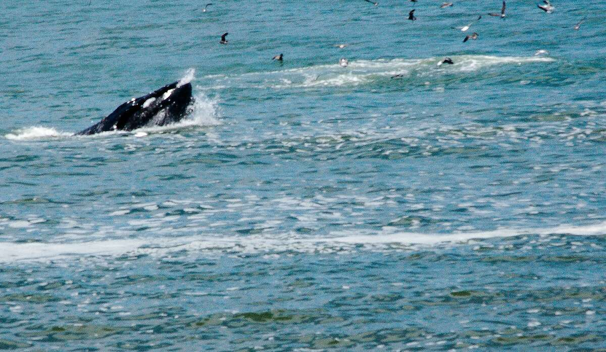 A humpback shoots out of the water near the border between Pacifica and Daly City.