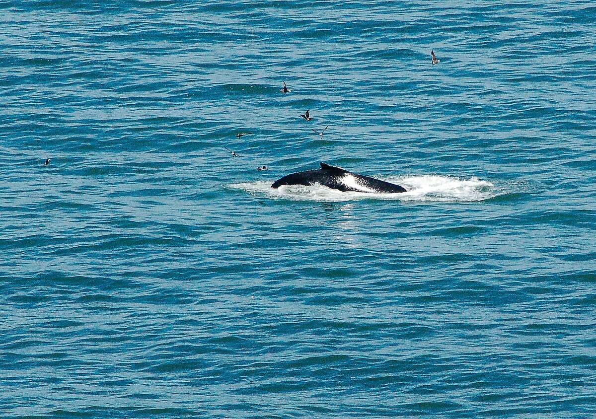 Whales, mostly humpbacks like this one, are gathering off the coast near the Golden Gate in record numbers.
