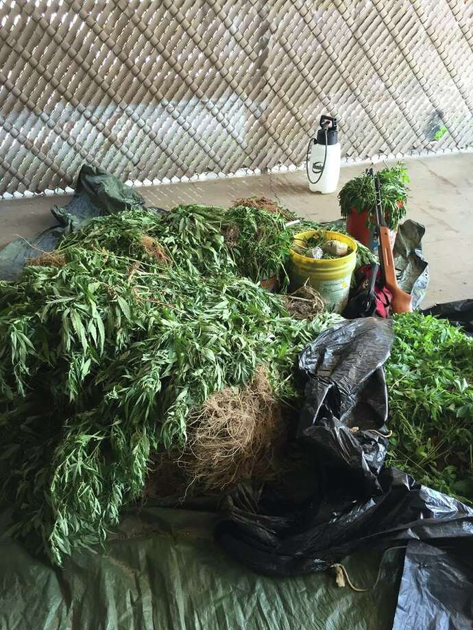 A multi-agency training exercise in Sabine County led to the discovery of 10 marijuana patches in a field north of Hemphill. Photo: Sabine County Sheriff's Office