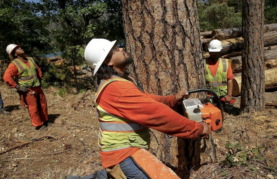 Tree fellers ( l to r) Mitchell Uribes, Jeff Hale and Blackhawk Sauceda remove hundreds of Ponderosa Pine trees infested with the Western Pine Beetle  from around bass Lake near Oakhurst, California on Wed. June 29, 2016. Tens of thousands of trees killed by drought are being removed to prevent fire danger but since there's no place to put them, they're being stacked along roads or piled near homes. Photo: Michael Macor, The Chronicle