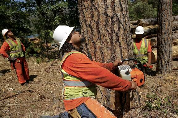 Tree fellers ( l to r) Mitchell Uribes, Jeff Hale and Blackhawk Sauceda remove hundreds of Ponderosa Pine trees infested with the Western Pine Beetle  from around bass Lake near Oakhurst, California on Wed. June 29, 2016. Tens of thousands of trees killed by drought are being removed to prevent fire danger but since there's no place to put them, they're being stacked along roads or piled near homes.