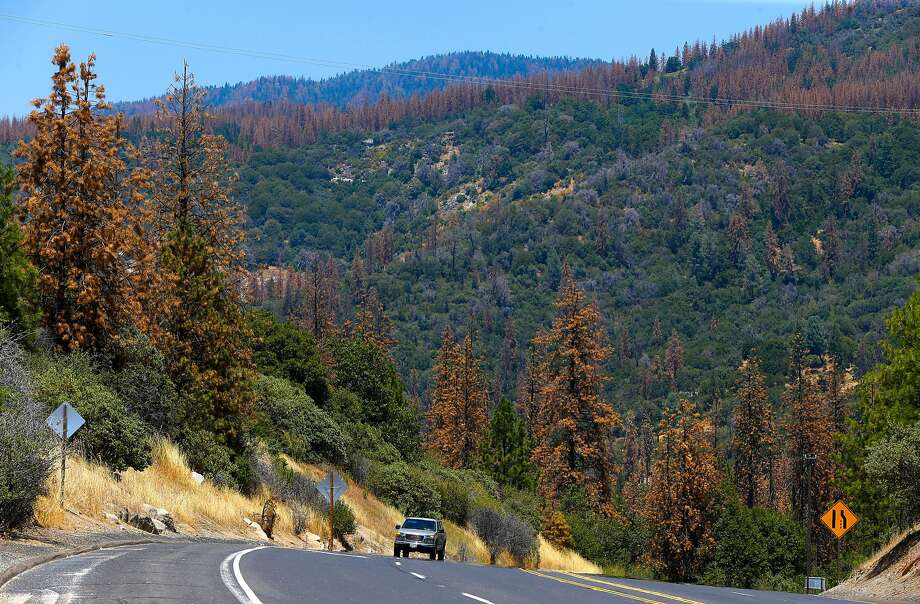 Infested Ponderosa Pine trees cover the hillside near Oakhurst, California on Wed. June 29, 2016. Tens of thousands of trees killed by drought are being removed to prevent fire danger but since there's no place to put them, they're being stacked along roads or piled near homes. Photo: Michael Macor, The Chronicle