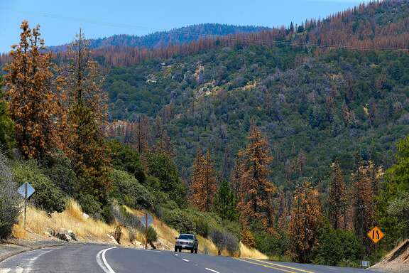 Infested Ponderosa Pine trees cover the hillside near Oakhurst, California on Wed. June 29, 2016. Tens of thousands of trees killed by drought are being removed to prevent fire danger but since there's no place to put them, they're being stacked along roads or piled near homes.