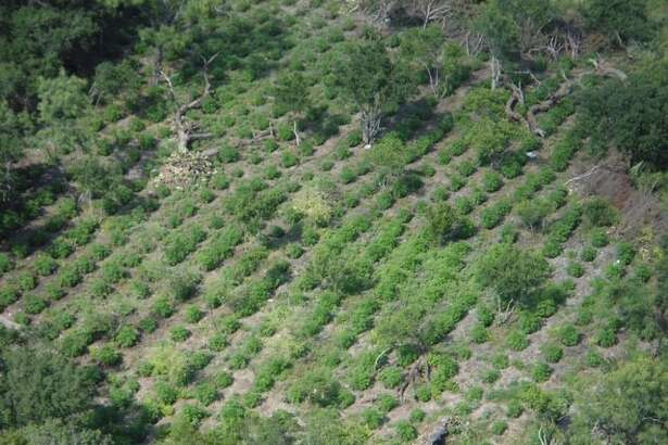About 40,0000 illegal marijuana plants worth several million dollars were found June 29, 2016 in east Menard County, Texas by Texas Game Wardens conducting an aerial patrol of the county.