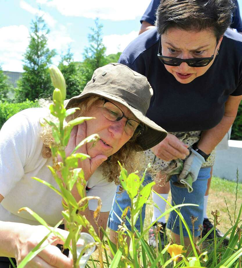 University of Connecticut Master Gardener Coordinator Gail Kalison Reynolds, left, releases parasitoid wasps  into the Galileo Garden at the John J. McCarthy Observatory, in New Milford, to combat the red lily beetle which has been decimating the stargazer lilies in the garden. Thursday, June 30, 2016, in New Milford, Conn. Master Gardener Adrienne Caruso, of Bridgewater, looks on. Photo: H John Voorhees III / Hearst Connecticut Media / The News-Times