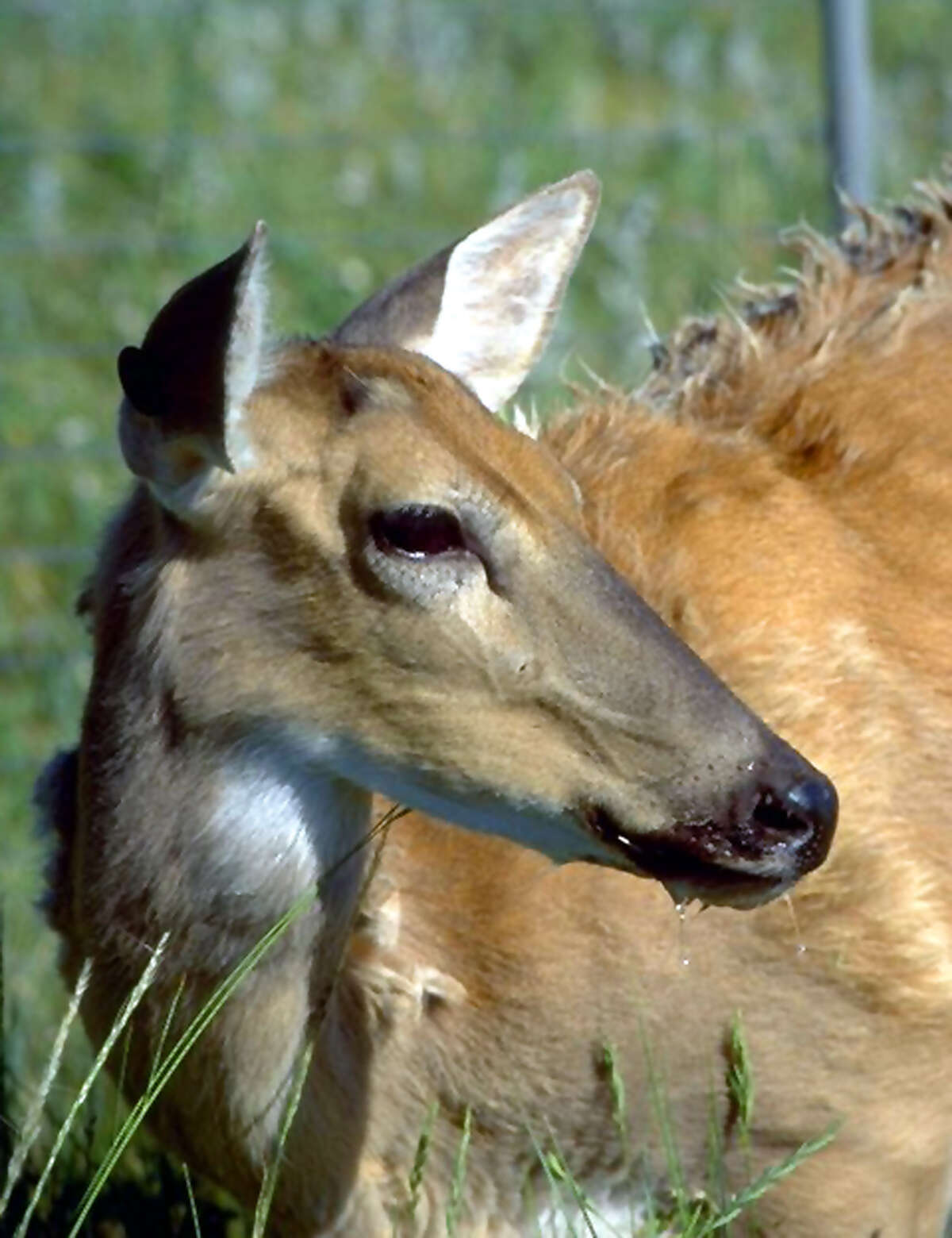 Emaciated and drooling, a deer in Colorado shows signs of chronic wasting disease, which has been documented in captive and free-range deer in 24 states and two Canadian provinces. It is similar to mad cow disease.