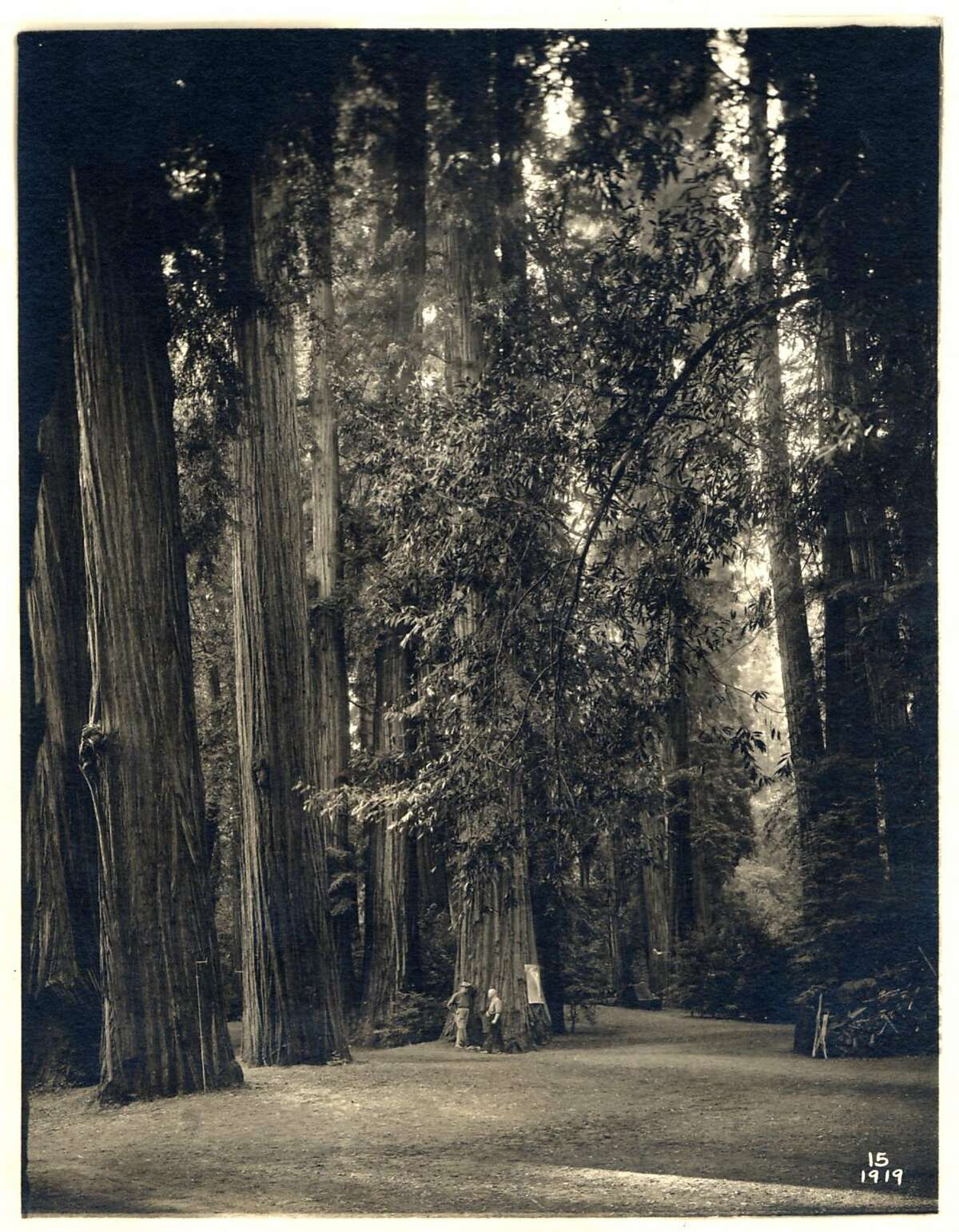 Some of the giant redwoods in the Bohemian Grove are 300 feet tall and 1,000 years old. Ran on: 07-12-2007 Ancient redwoods in the Bohemian Grove have lured members to the woodland for 135 years.