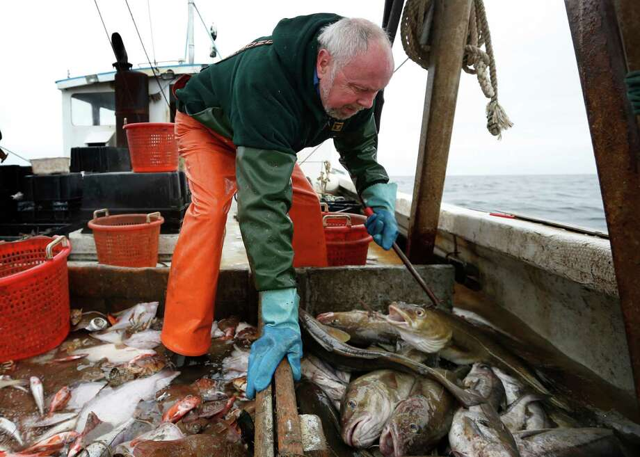 David Goethel sorts cod and haddock while fishing off the coast of New Hampshire. Cod represents his identity and his ticket to middle-class life. Photo: Robert F. Bukaty, STF / Copyright 2016 The Associated Press. All rights reserved. This material may not be published, broadcast, rewritten or redistribu
