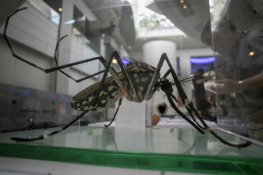 A model of an Aedes Aegypti mosquito, the type that transmits the Zika virus, on display in New York, Photo: VICTOR J BLUE, STR / NYTNS