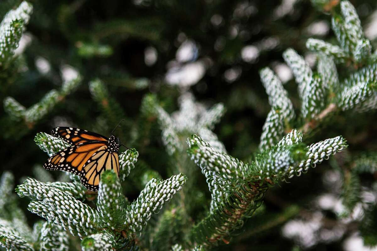 A monarch butterfly sits in a tree on the opening day of Molbak's Butterfly Garden at the Woodland Park Zoo in Seattle on July 2, 2016. Adult butterflies live only 7-10 days after metamorphosing from the pupa stage.