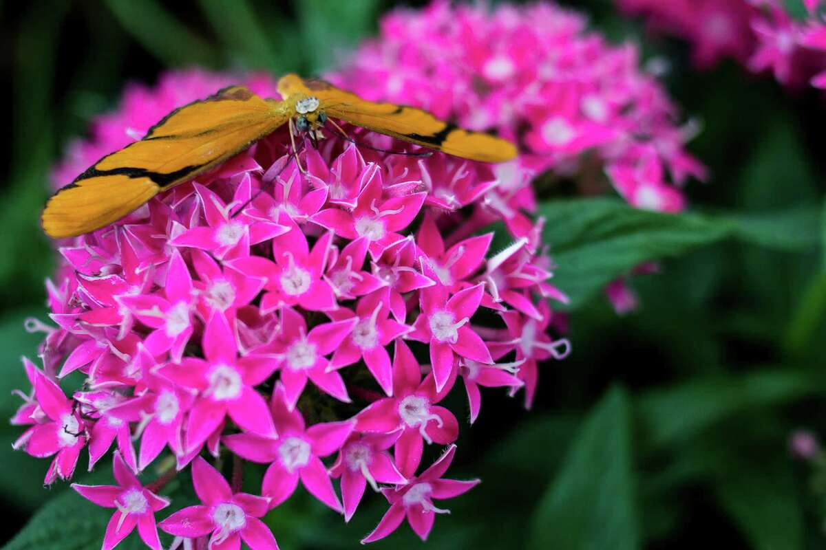 A Julia butterfly sits atop of a group of flowers.