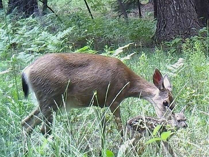 A doe nuzzles its newborn fawn as it takes it first unsure step. Newborn wildlife is emerging across the the Sierra Nevada, Shasta-Cascade and Siskiyou ranges of Northern California.