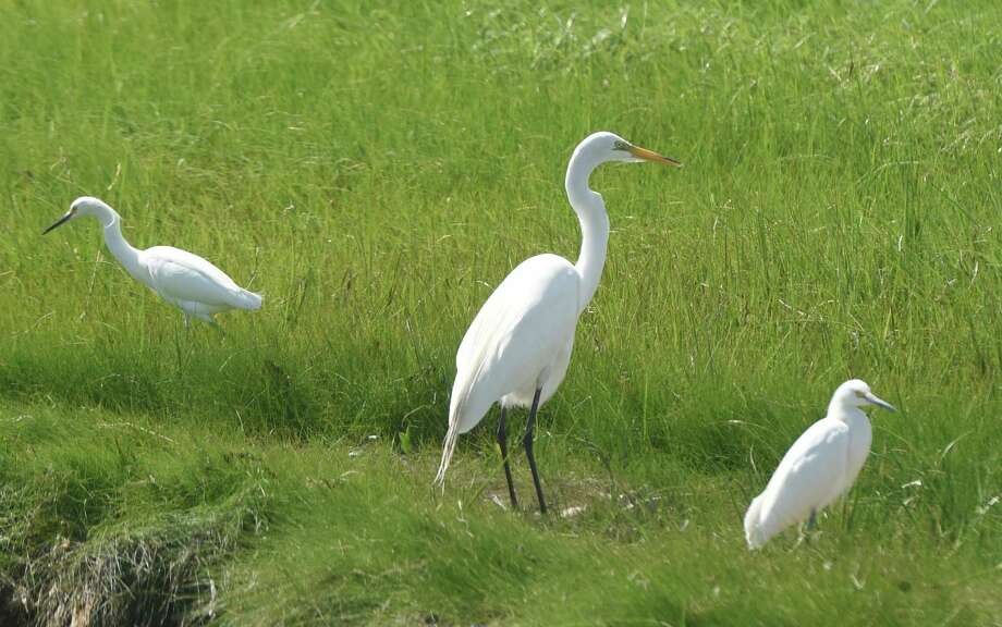 A great egret, center, and snowy egrets wade in the shallow waters and tall grass on the shoreline during the First Sunday Bird Walk at Greenwich Point Park in Old Greenwich, Conn. Sunday, July 3, 2016. The free program by the Bruce Museum allowed birdwatchers a chance to observe and learn about the resident and migratory birds through a leisurley stroll around Tod's Point. Photo: Tyler Sizemore / Hearst Connecticut Media / Greenwich Time