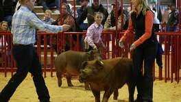"""Molly Boswell, 11, center, of Malakoff, Texas, holds on to """"Rosie,"""" as Brandon Yantis, left, judges Morgan Wintermeier of Judson FFA's entry during the 11th class of the junior breeding swines during the first day of the 2016 San Antonio Stock Show and Rodeo. Stock shows competitors can win tens of thousands of dollars if their projects make it to the auction."""