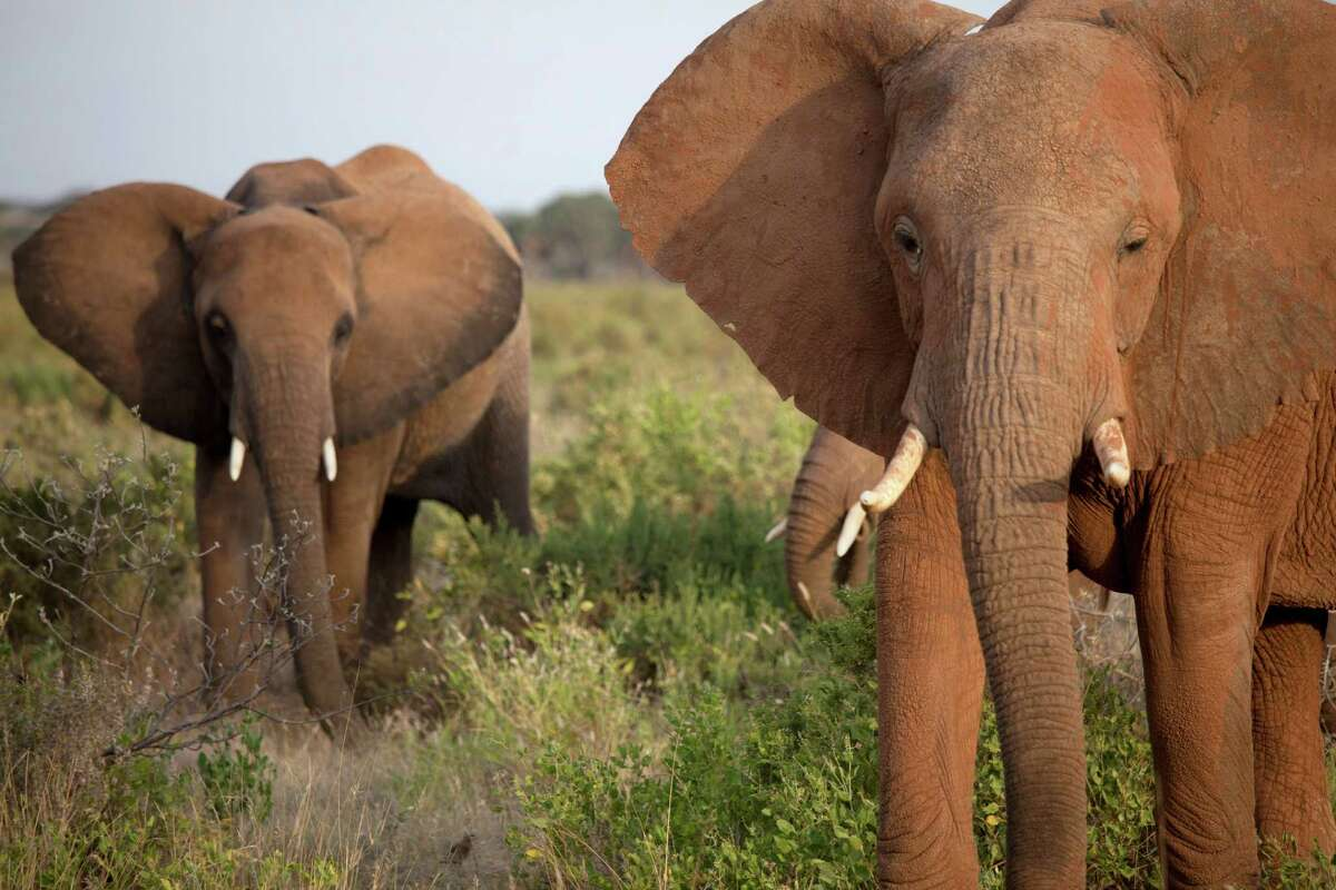 Two types African elephants, the larger of the two types of elephants, have large, fan-like ears and tusks.