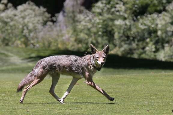One of two collared Coyotes out of six known animals two of which are pups are now making the Presidio their home on Fri. June 24,2016. The Presidio Trust is conducting a new pilot project that will document the behavior and movements of coyotes in San Francisco, California.