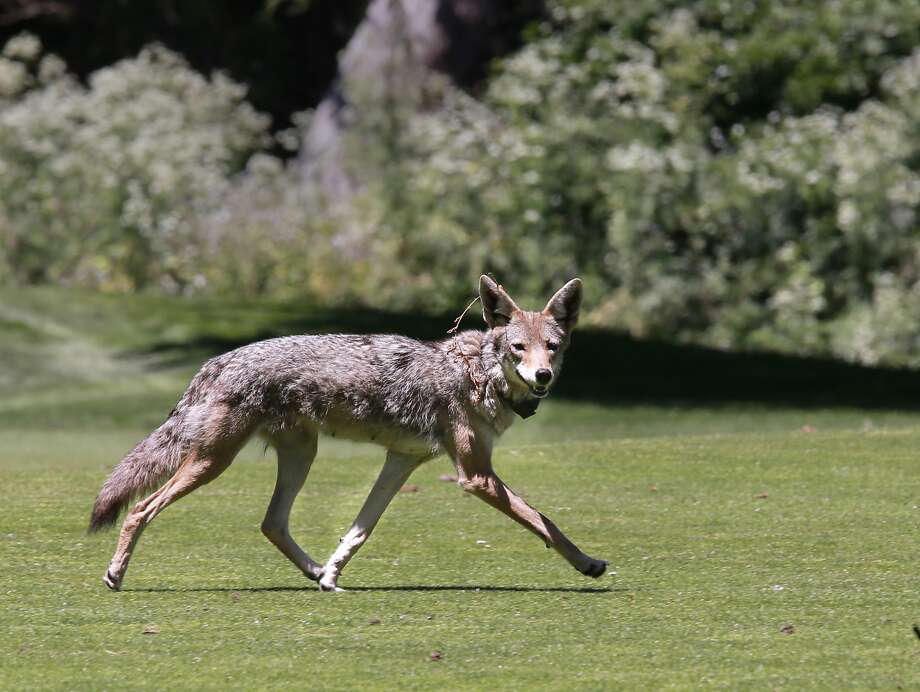File photo of a coyote in San Francisco. Photo: Michael Macor, The Chronicle