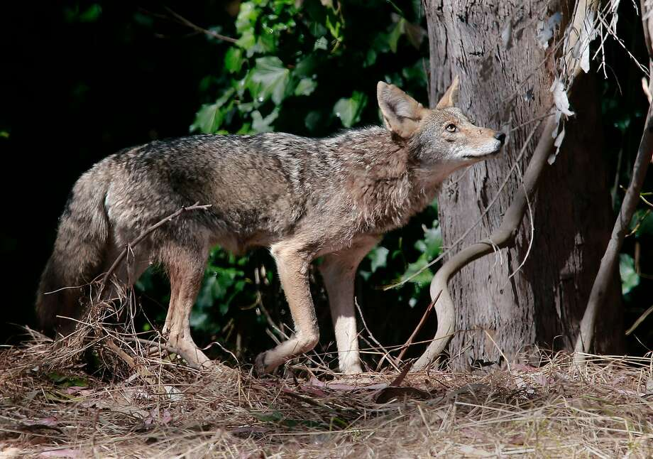 A male Coyote, one of six known Coyotes now making the Presidio their home. Photo: Michael Macor, The Chronicle
