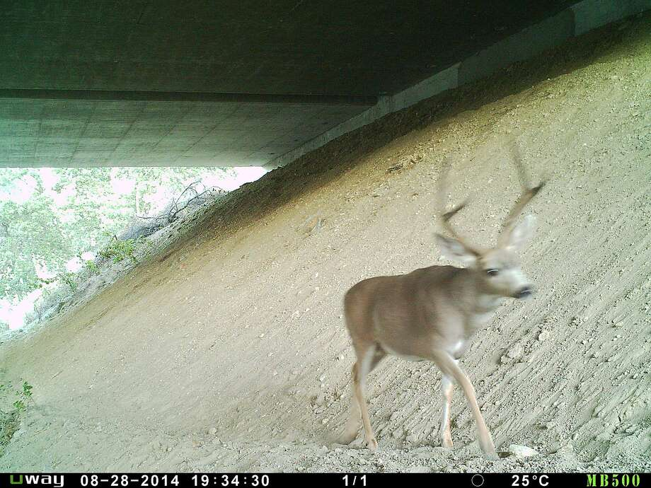 A deer crosses beneath a highway, offering an example of how roads can be designed for safe wildlife passage. Photo: Courtesy Of Fraser Shilling