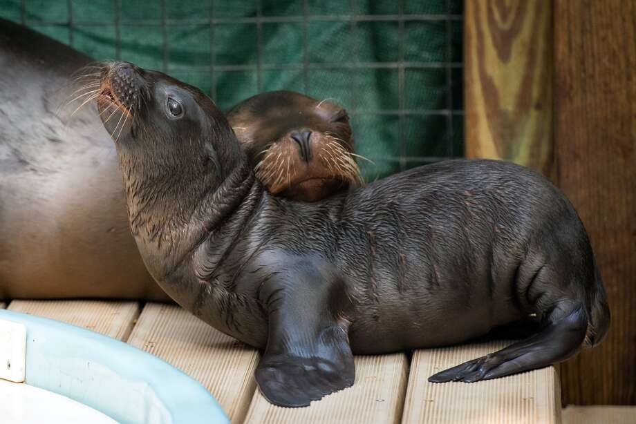 The Houston Zoo has announced the birth of a California baby sea lion on site, Tuesday, June 28, 2016. The newborn does not have a name as its sex has not been determined. (Photo: Houston Zoo / Stephanie Adams)