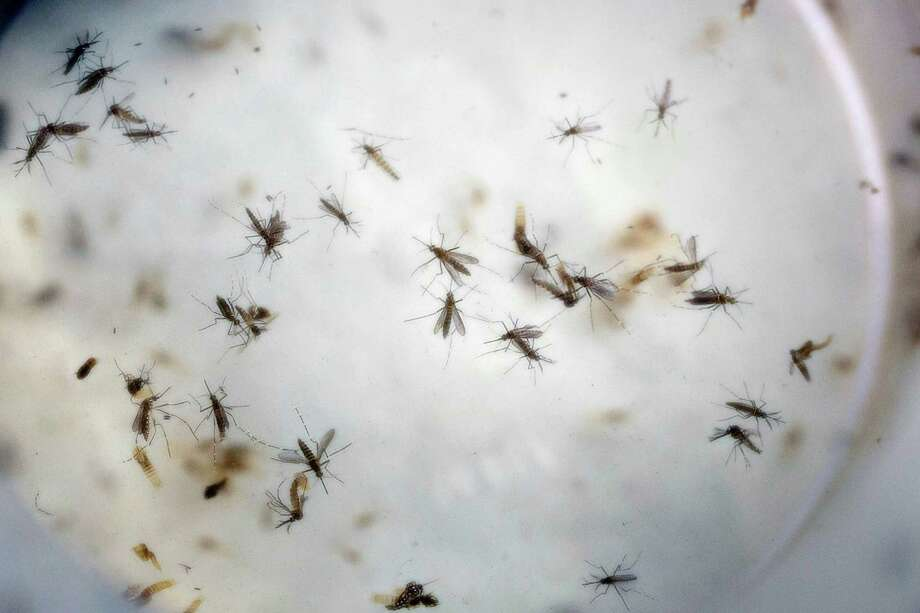 FILE - In this Feb. 11, 2016, file photo of aedes aegypti mosquitoes are seen in a mosquito cage at a laboratory in Cucuta, Colombia. Top U.S. officials are urging Puerto Rico on Wednesday, July 6, to strongly consider aerial spraying to prevent further spread of mosquito-borne Zika, saying as many as 50 pregnant women on the island are infected every day and warns it's only a matter of time before Puerto Rico sees babies born with microcephaly, a rare birth defect linked to Zika infections. (AP Photo/Ricardo Mazalan, File) Photo: Ricardo Mazalan, STF / Copyright 2016 The Associated Press. All rights reserved. This material may not be published, broadcast, rewritten or redistribu