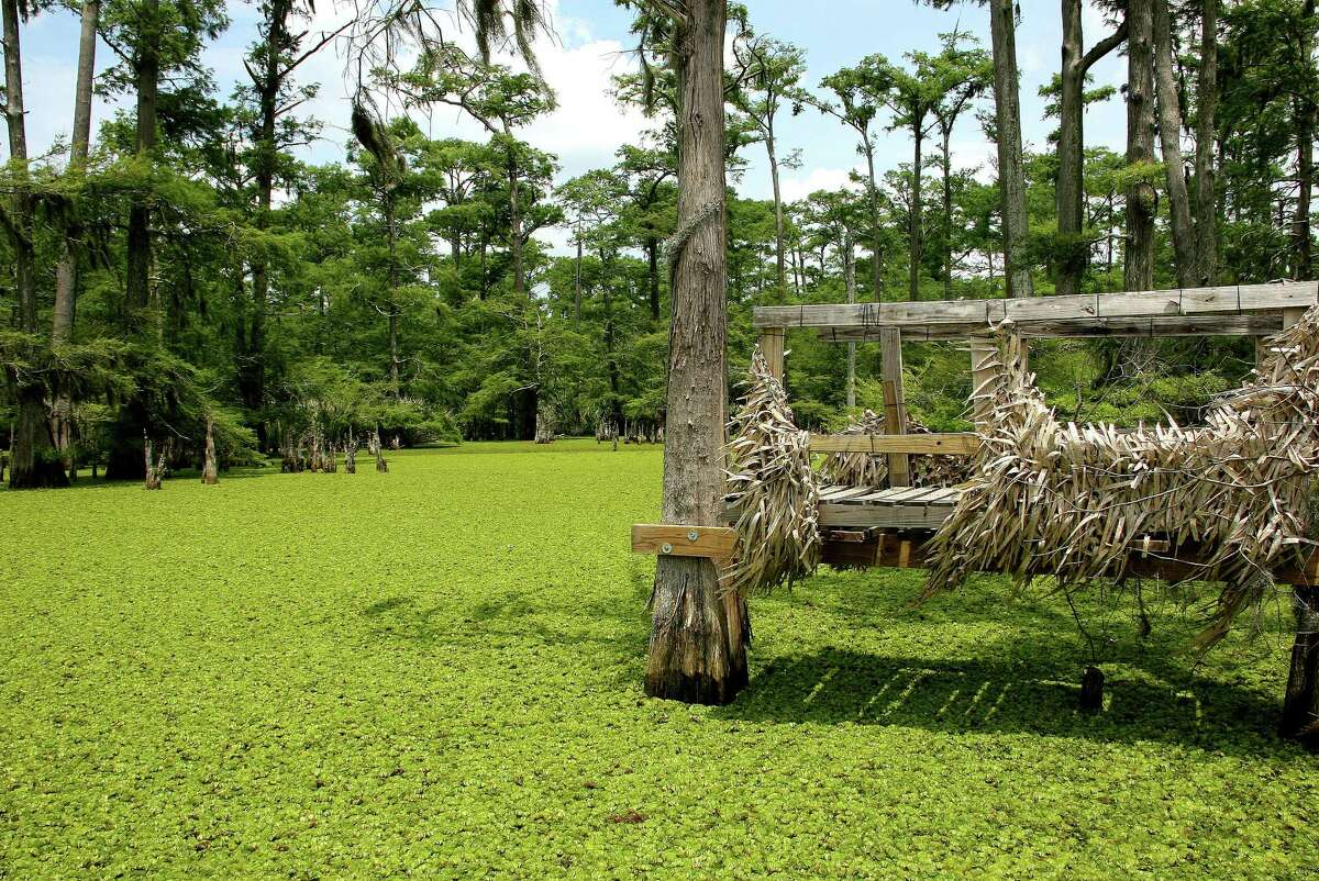Giant salvinia smothering this freshwater wetland is one of scores of invasive species humans have spread around Texas, eroding the state's natural heritage and costing Texans economical and environmental damage.