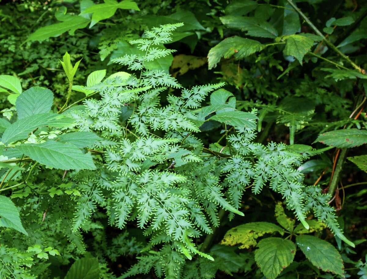 Not all invasive species are as well known as feral hogs or water hyacinth. Japanese climbing fern, which can smother native vegetation, is one of scores of invasives common across the state.