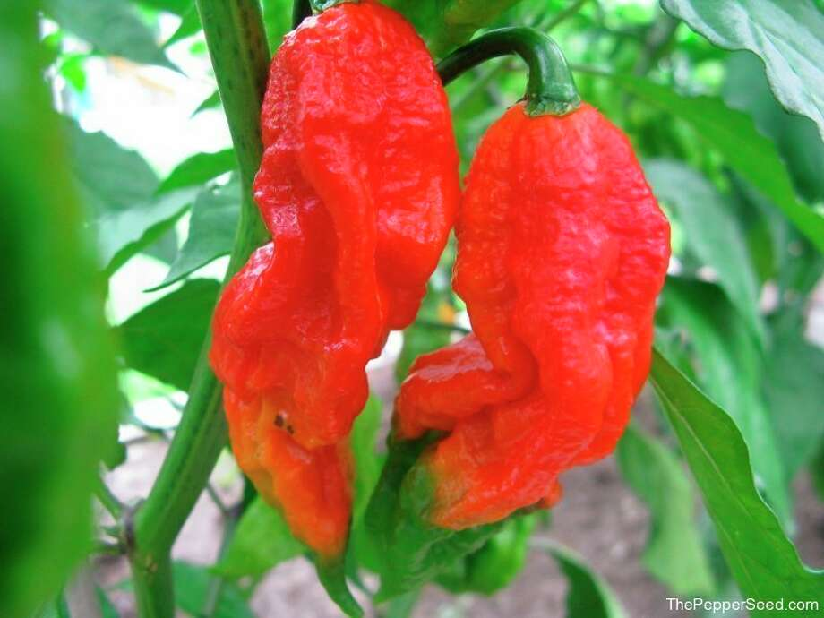 Photo provided Bhut Jolokia ghost pepper.
