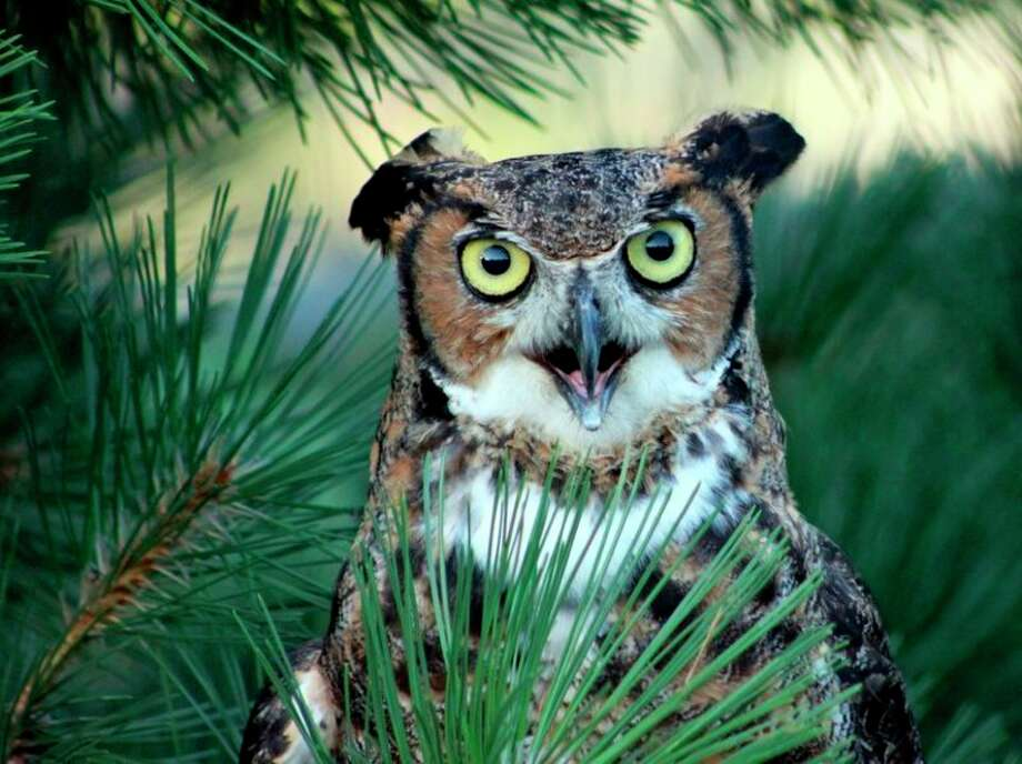 Great Horned Owl by Carol Yeoman.