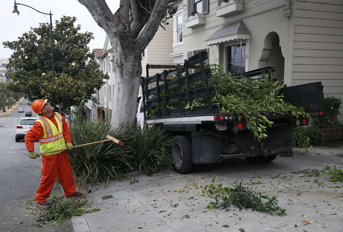 John Perez (left) cleans up and Toa Afu works overhead as the Department of Public Works crew trims an overgrown ficus tree on Dolores Street in San Francisco, Calif. on Thursday, July 7, 2016.