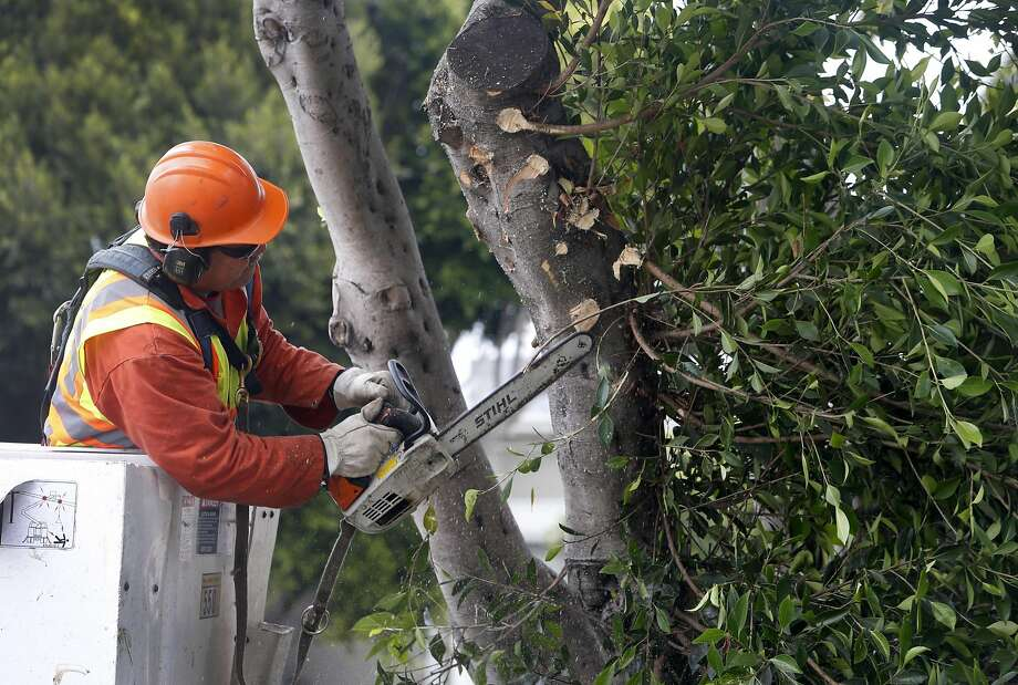 Department of Public Works arborist Toa Afu trims an overgrown ficus tree on Dolores Street in San Francisco, Calif. on Thursday, July 7, 2016. Photo: Paul Chinn, The Chronicle