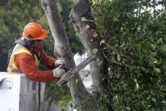 Department of Public Works arborist Toa Afu trims an overgrown ficus tree on Dolores Street in San Francisco, Calif. on Thursday, July 7, 2016.