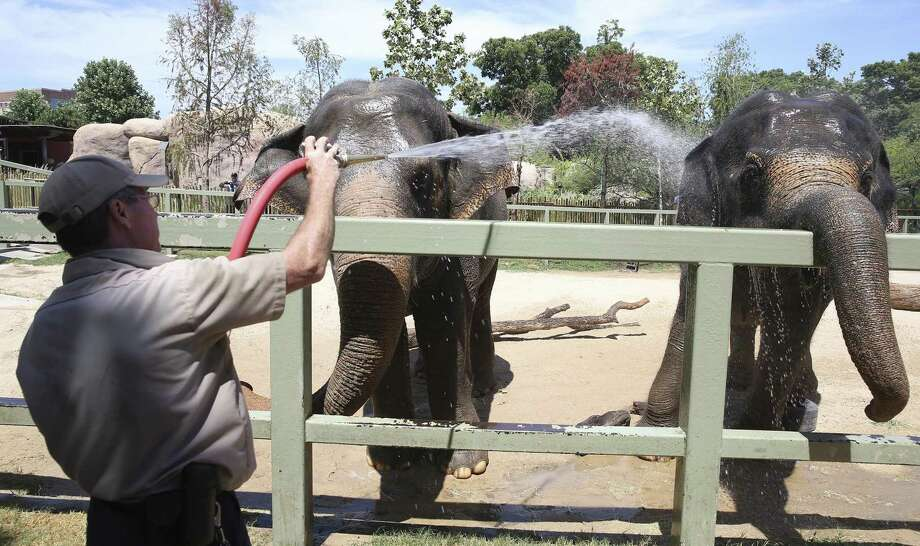 Asian elephants, Nicole (left) and Lucky, get treated to a cool water bath in the middle of the hot afternoon by Mike Huff, senior animal care specialist at the San Antonio Zoo earlier this week. Photo: TOM REEL /SAN ANTONIO EXPRESS-NEWS / 2016 SAN ANTONIO EXPRESS-NEWS