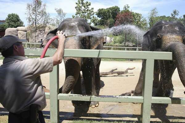 Asian elephants, Nicole (left) and Lucky, get treated to a cool water bath in the middle of the hot afternoon by Mike Huff, senior animal care specialist at the San Antonio Zoo earlier this week.