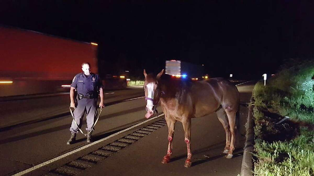 A horse that fell out of a horse trailer on I-91 on Thursday, July 7, 2016 was rescued by State Police. The horse and a trooper stand beside I-91 with traffic still passing. The horse had leg injuries, but still managed to stand. It was later reunited with its owners after state police found them in I-95 in Stratford.