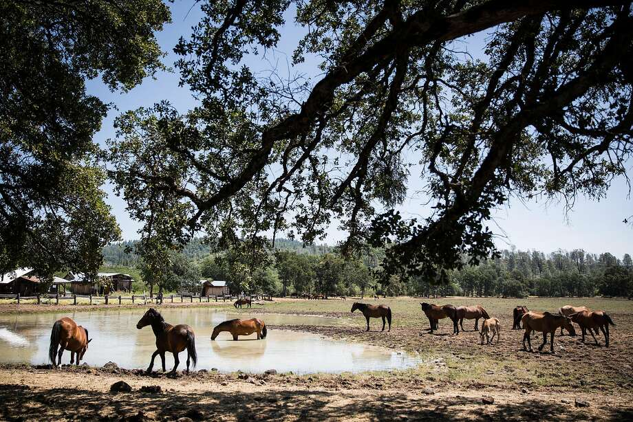 Wild horses at water hole next to the Wild Horse Sanctuary camp in Shingletown, California, July 2, 2016. Photo: Max Whittaker, Special To The Chronicle